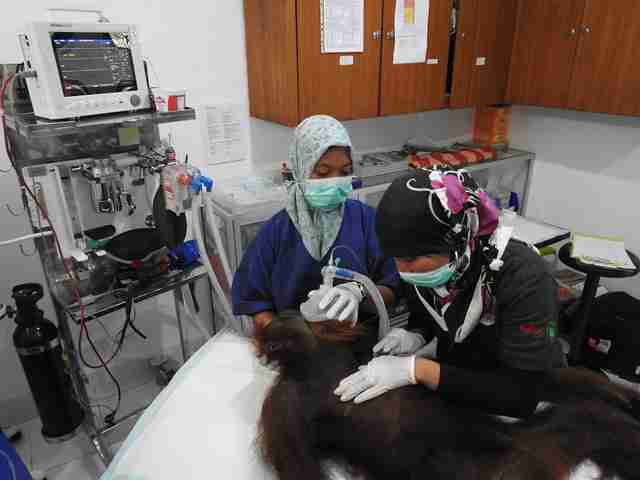 Orangutan being treated in medical room
