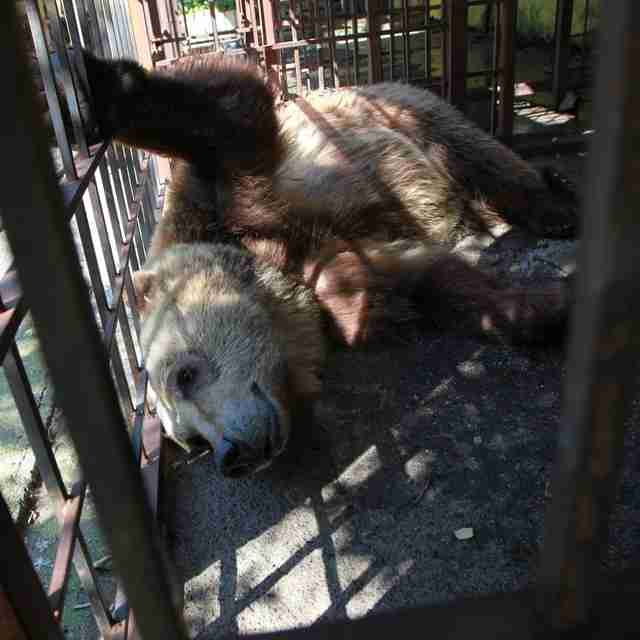 Tomi the bear locked up at restaurant in Albania