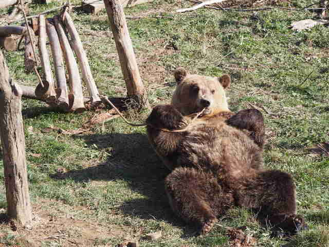 Tomi the bear relaxing at Kosovo sanctuary