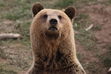 Tomi the bear at sanctuary