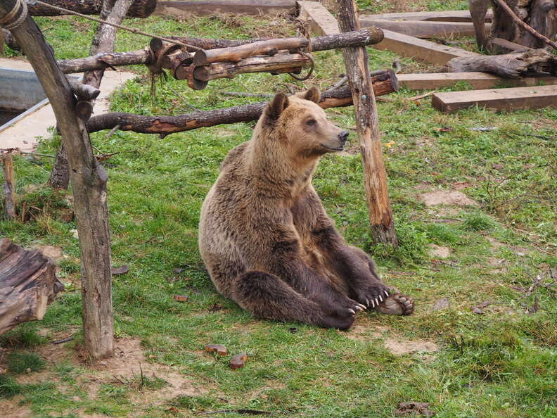 Tomi the bear at sanctuary in Kosovo
