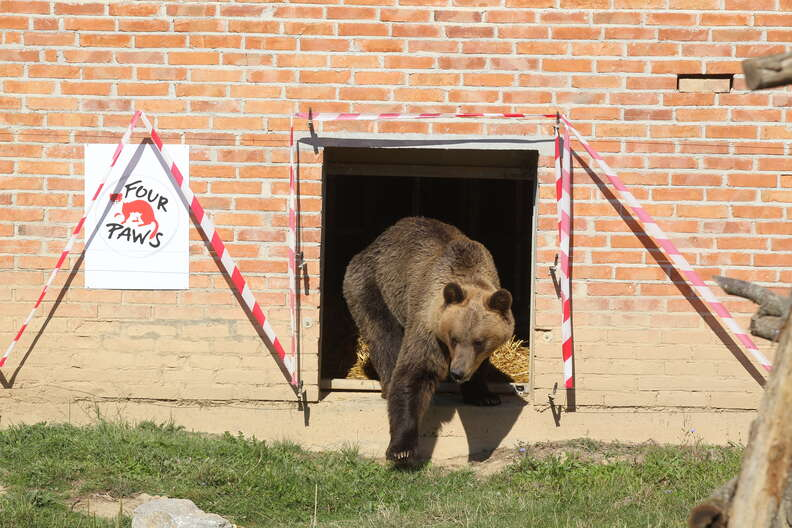Tomi the bear taking first steps at sanctuary in Kosovo