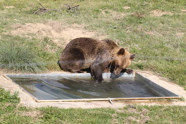 Tomi bear playing in his own pool at the sanctuary