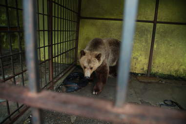 Tomi the bear in his cage outside a restaurant in Albania