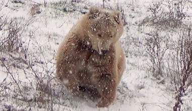Bear saved from restaurant joyfully playing in the snow