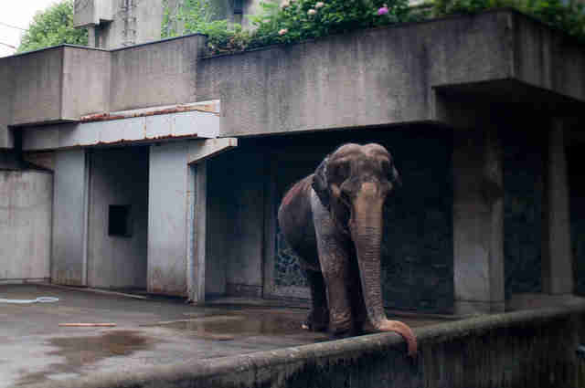 lonely elephant solitary japan