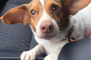 George the corgi mix driving home from shelter