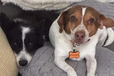 George and his corgi dog brother Jack