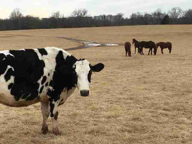 Rescued dairy cow with horses