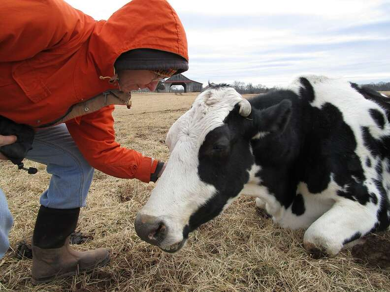 Rescued dairy cow Maisie getting pet at sanctuary