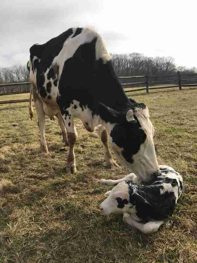 Rescued dairy cow snuggles with her calf