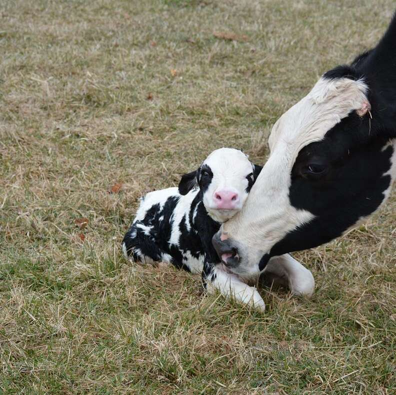 Rescued dairy cow with her calf at Poplar Spring Animal Sanctuary