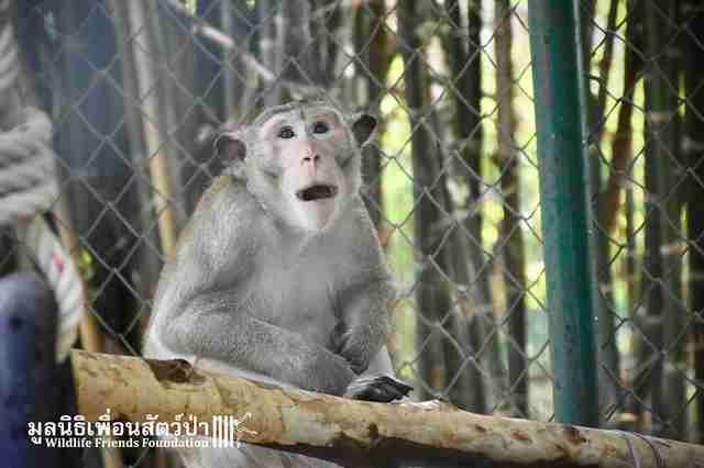 Macaque monkey inside quarantine enclosure