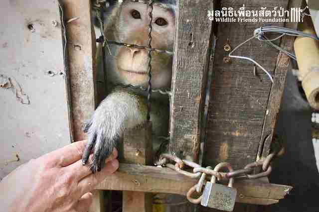 Macaque monkey locked up in wooden cage