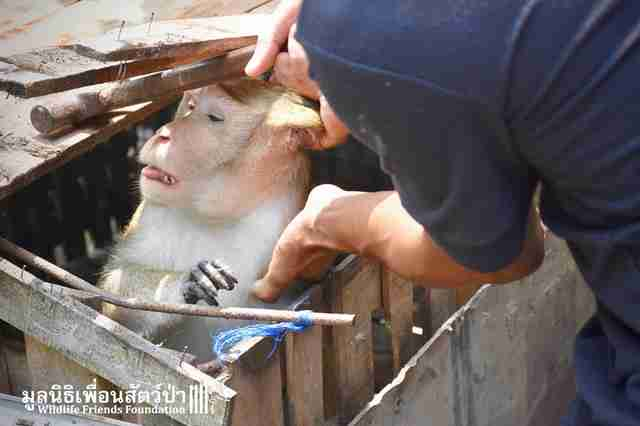 Rescuers pulling macaque out of cage
