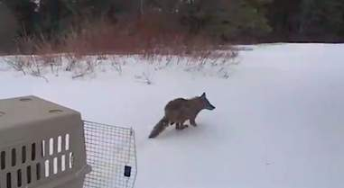 'Budget coyote' getting released