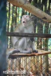 Macaque monkey inside quarantine enclosure