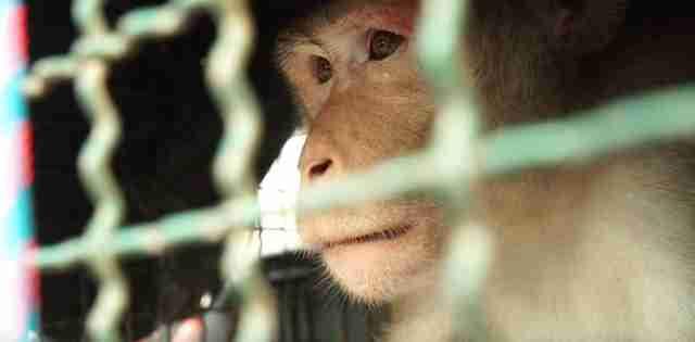 Macaque monkey looking out of cage