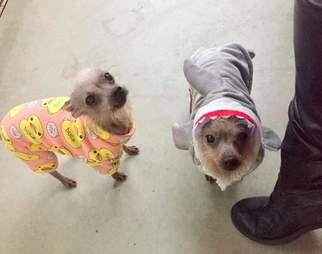 puppy mill rescue dogs wear pajamas