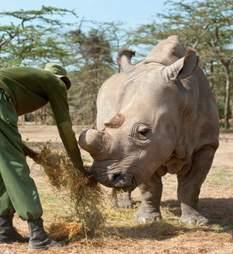 Sudan, the last male northern white rhino, who died in Kenya of old age