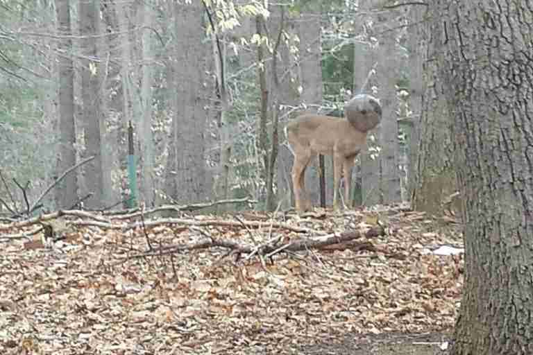 New Jersey white-tailed deer with head stuck in bowl