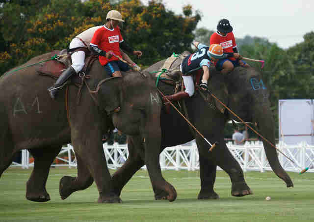 elephant polo abuse thailand