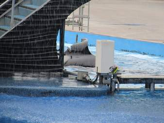 Captive orca's collapsed fin