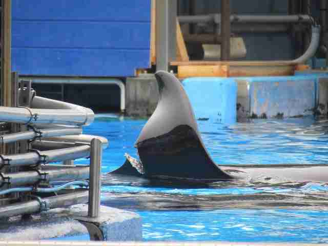 Captive orca with severe injury in dorsal fin