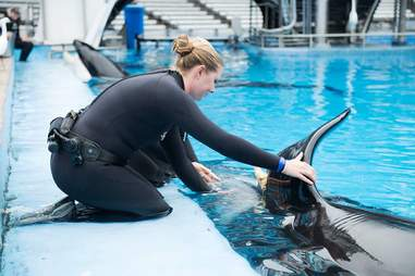 Woman tending to injured orca