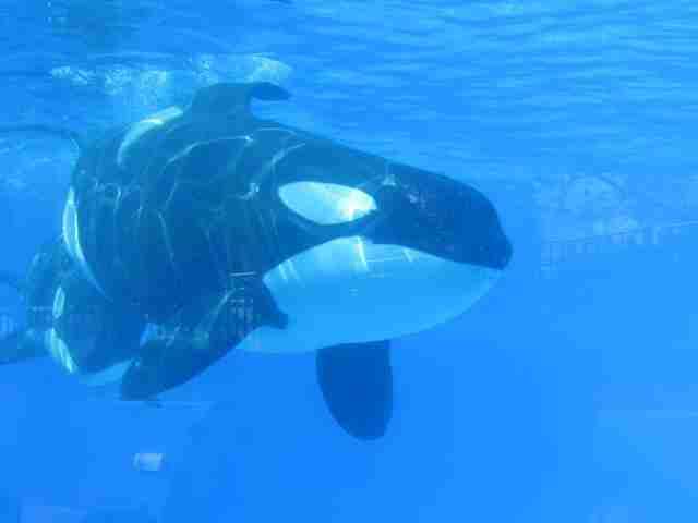 Captive orca inside tank at SeaWorld