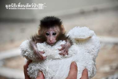Baby macaque saved from being a pet in Thailand