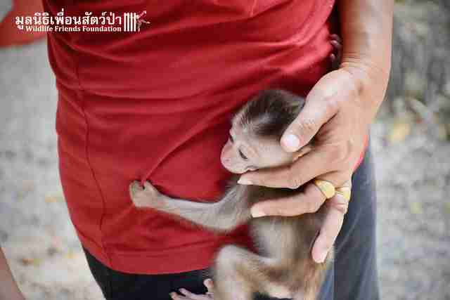 Orphaned baby macaque saved in Thailand