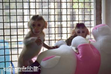 Orphaned baby macaques meet each other at rescue center in Thailand