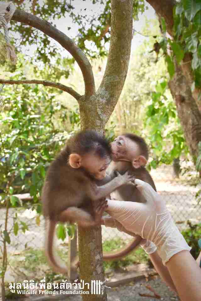 Orphaned baby macaques meet each other at rescue center