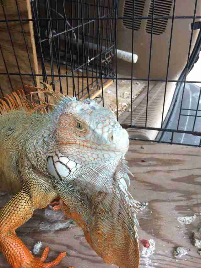 Injured iguana recovering at vet