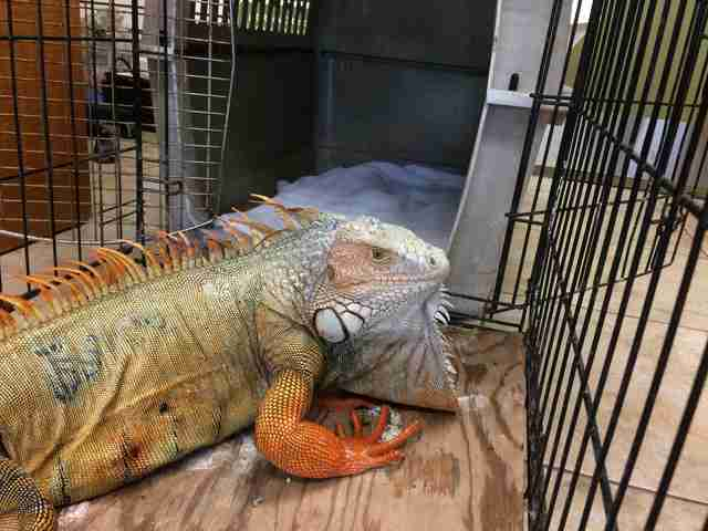 Injured iguana inside cage