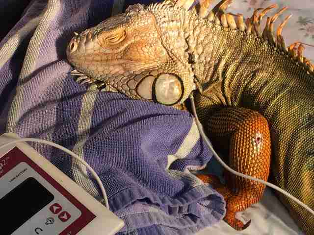 Injured iguana being cared for at rescue center