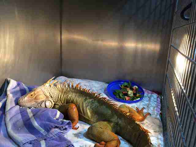Injured iguana sleeping inside cage at vet