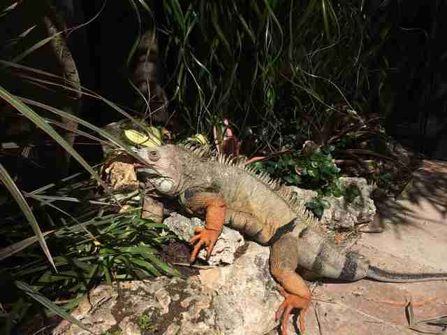 Green iguana outside in Floria