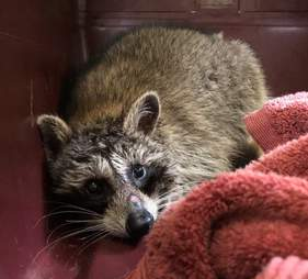 raccoon rescue jar stuck head toronto