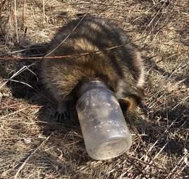 raccoon head stuck jar toronto