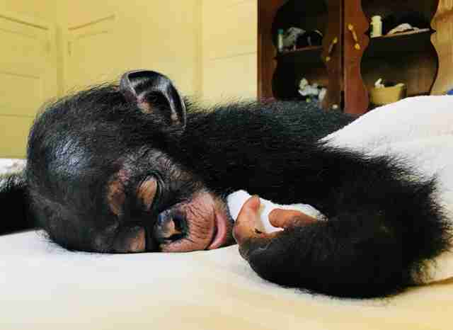 Baby chimp sleeping with blanket