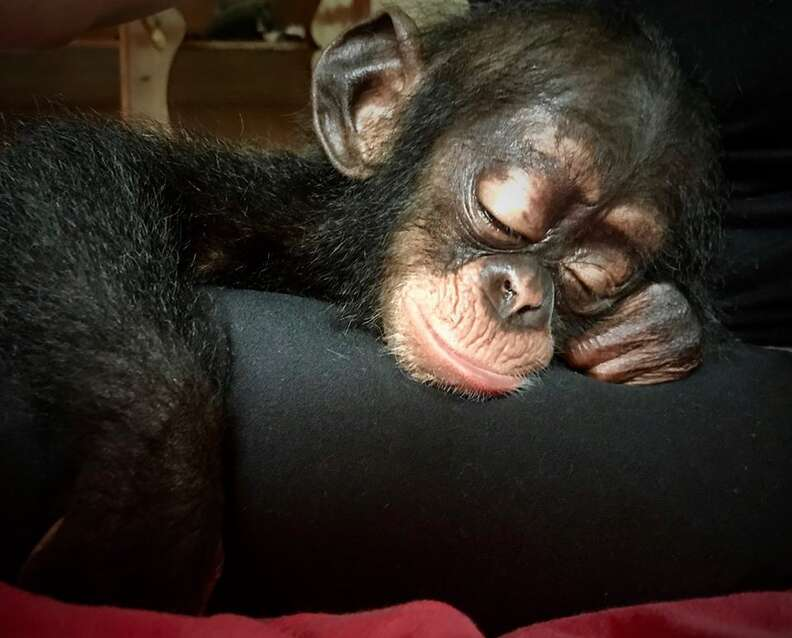 Baby chimp resting her head