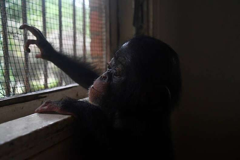 Baby chimp looking out of window