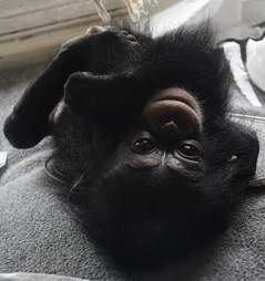 Baby chimp after being rescued