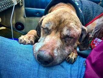 Pilot flying senior dog Ashlyn to fospice