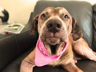 Senior dog in foster home