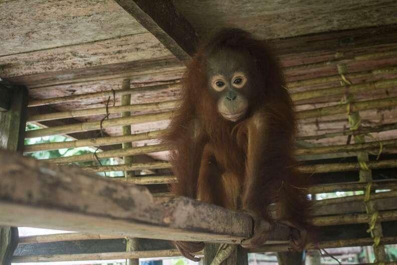 Orangutan locked up in wooden box