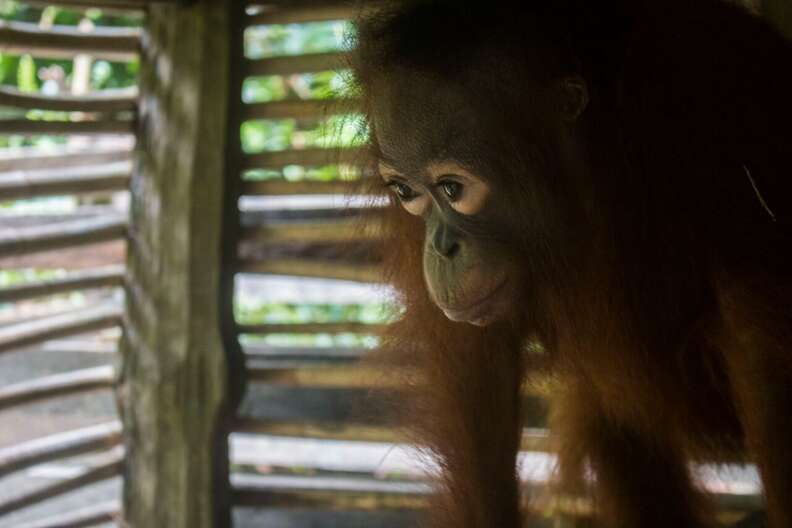 Orangutan locked up inside box
