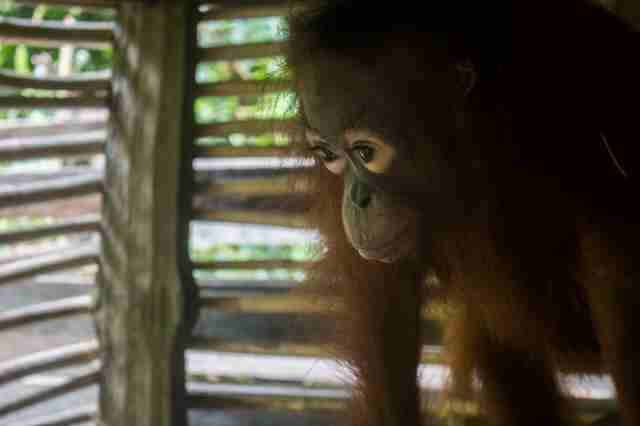Orangutan locked up inside box